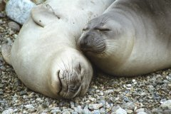 elephant-seal-pups