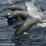 Spinner Dolphins Riding Wake, NOAA